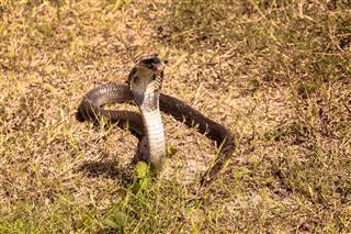 Cobra Snake In Natural Habitats