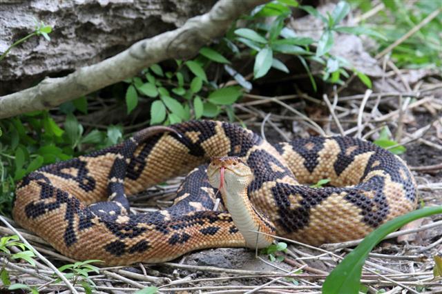 Venomous Bushmaster Snake In Rainforest