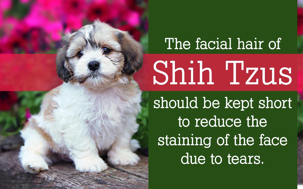 Shih Tzu Grooming Tips