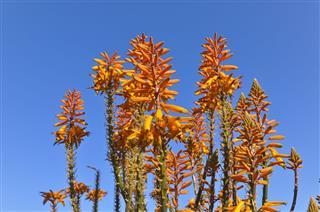 Aloe Vera Flowers