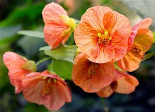 Flower Hybrid Abutilon