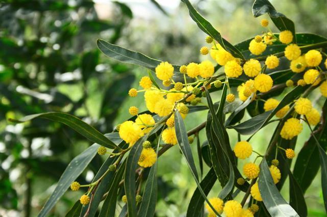 Mimosa Tree Flowers