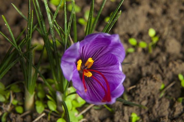 Blossoming Saffron Petal
