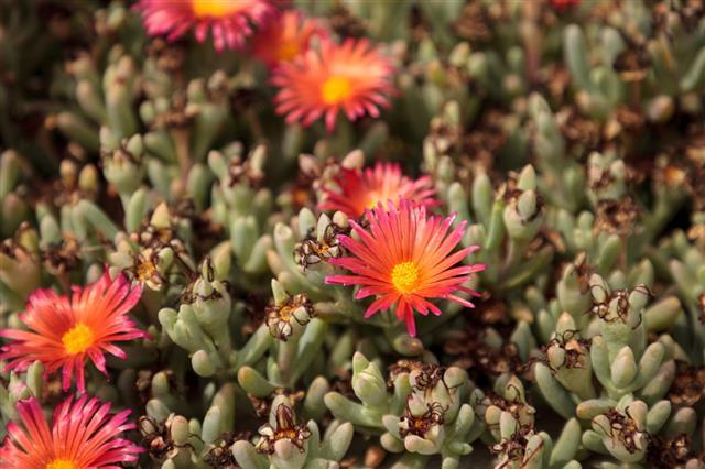 Ice Plant Succulent Carpobrotus Edulis