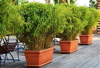 green bamboo in flowerpots