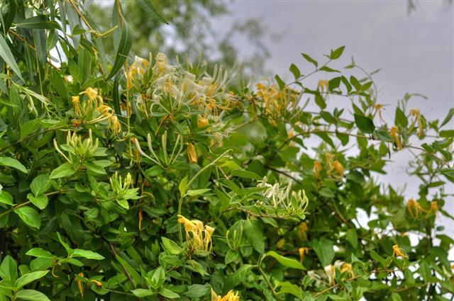 Honeysuckle (Lonicera Japonica)