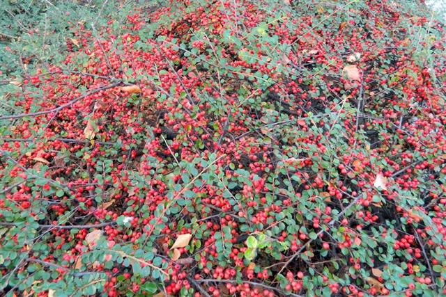 Ilex verticillata - Winterberry
