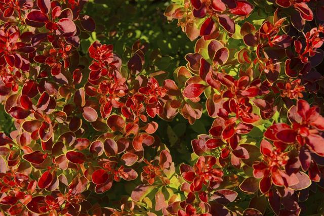 Japanese barberry bush