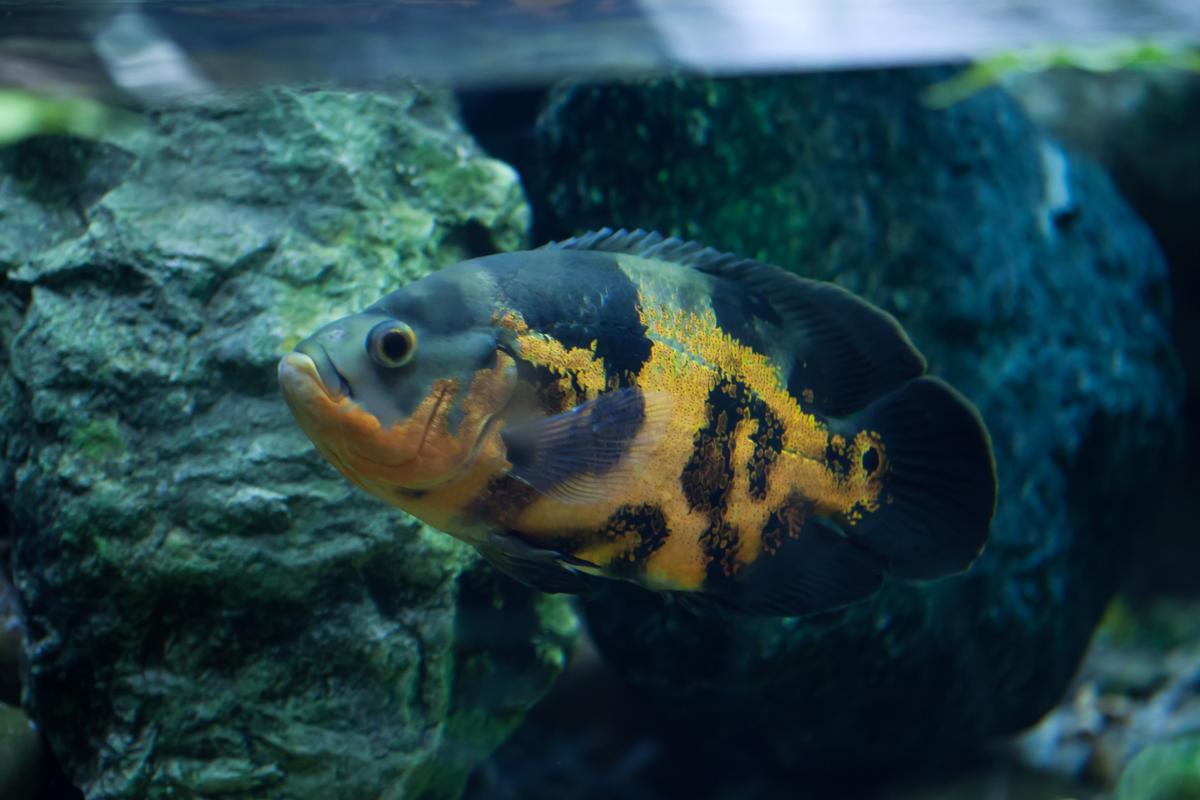 Oscar Fish Behavior