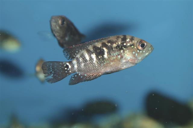 Jack Dempsey aquarium fish