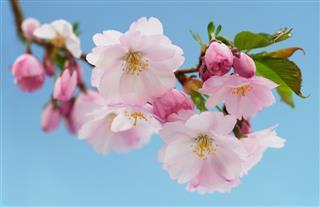 Japanese cherry (Sakura)with blossom