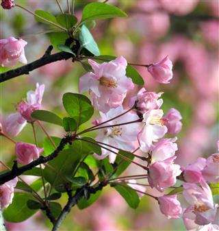 Plum tree in nature