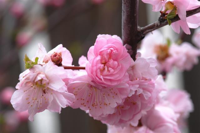 Flowering Almond Shrub In Bloom, Prunus Glandulosa