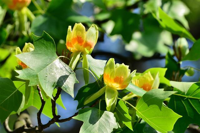 Tulip Tree (Liriodendron tulipifera) Flowers