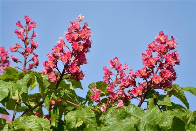 Red flowers of buckeye