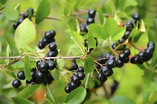 Black chokeberry in the garden