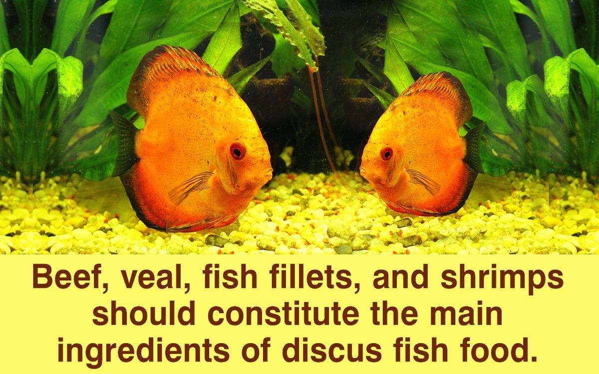 Discus Fish Food Recipe
