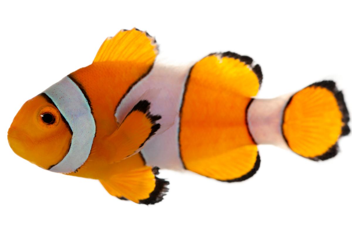 Ocellaris Clownfish Care, Fish Tank Setup, Feeding ...