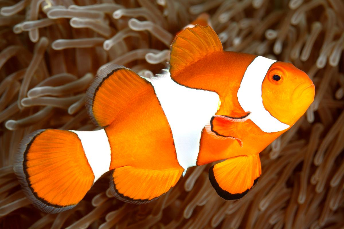 Clown Loach - Care, Diet and Breeding - Aquarium Info