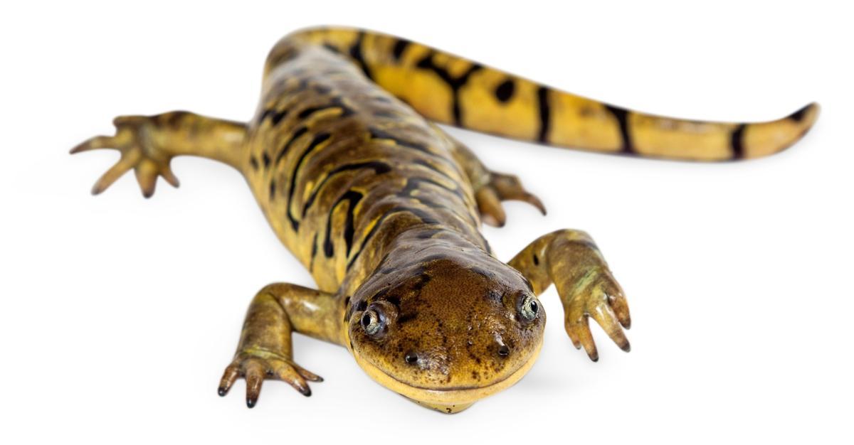 Salamanders as Pets