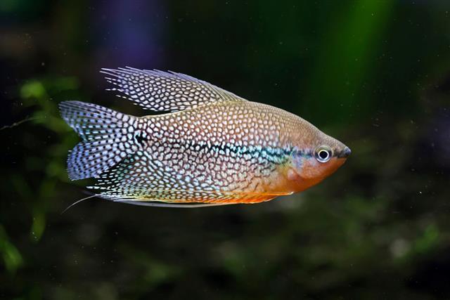 pearl Gouramis fish