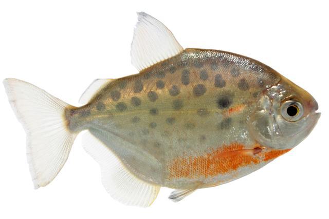 Characins fish