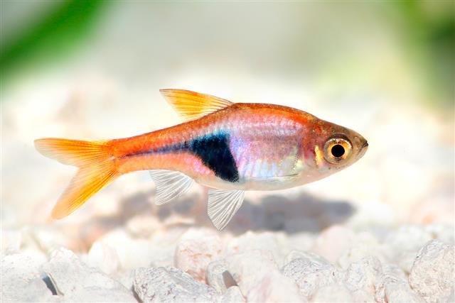 Harlequin rasbora fish