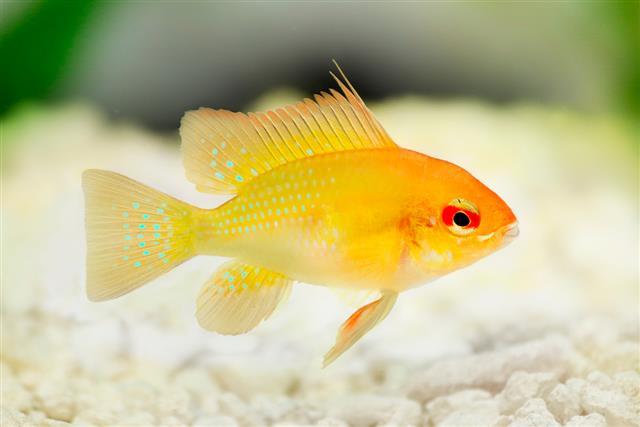 Dwarf Cichlids fish