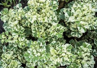 White-green Polyscias