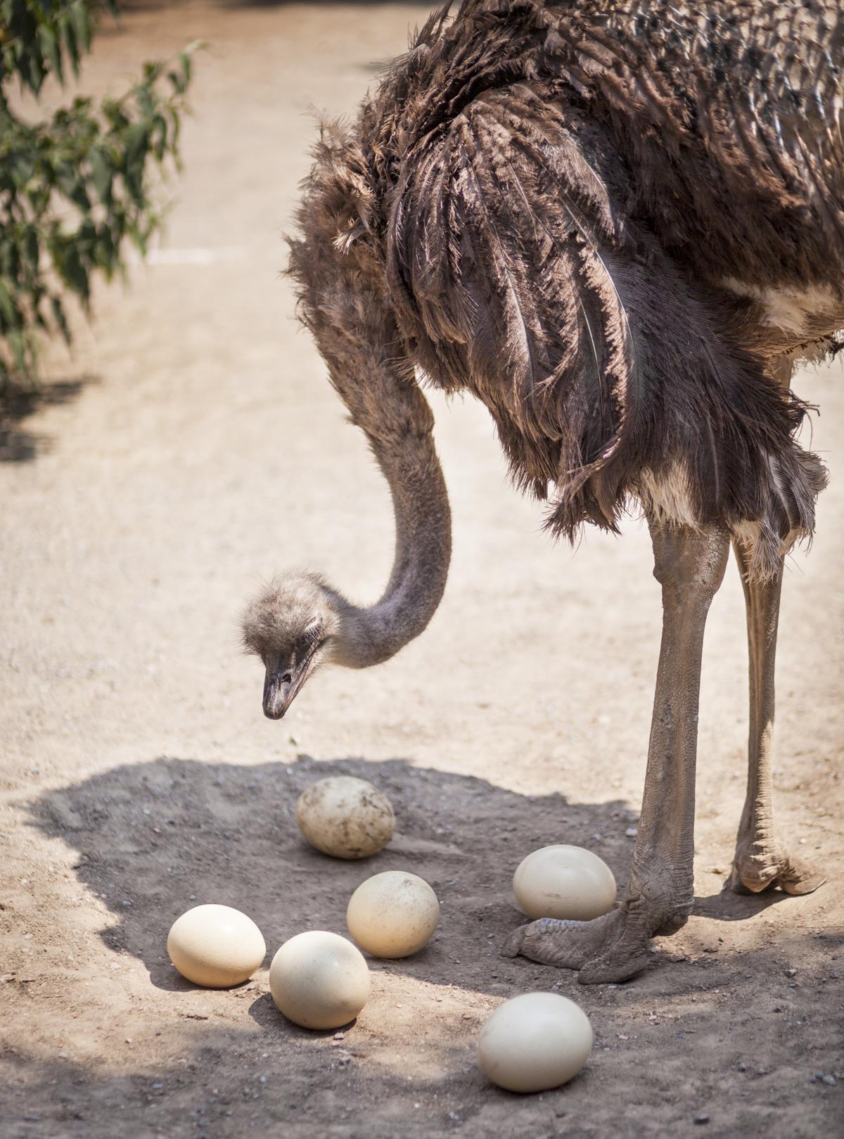 Unbelievable Facts About Ostrich Eggs