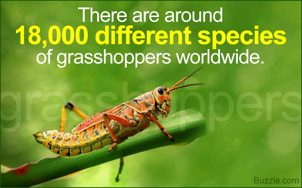 Grasshoppers Habitat