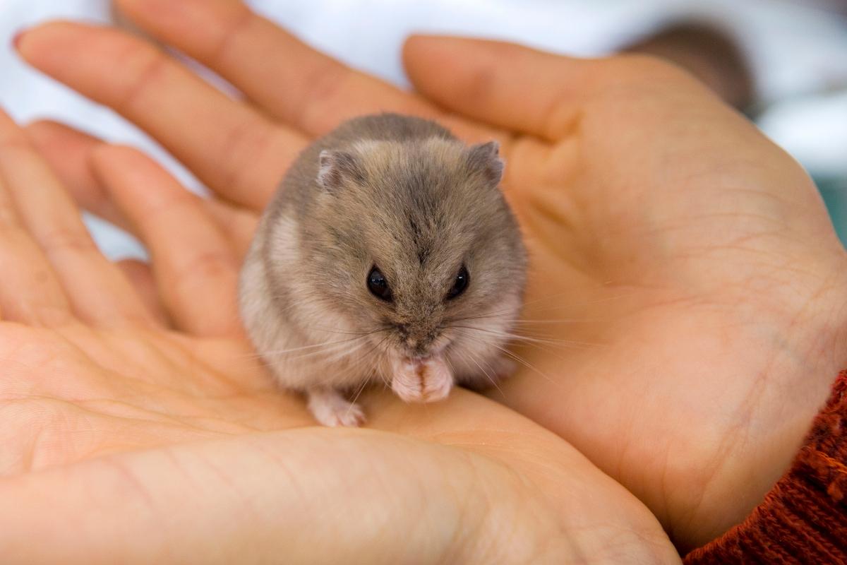 The Lifespan of Dwarf Hamsters - Little Bundles of Cuteness