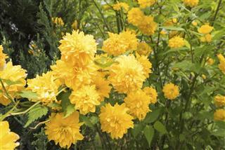 Japanese kerria flower