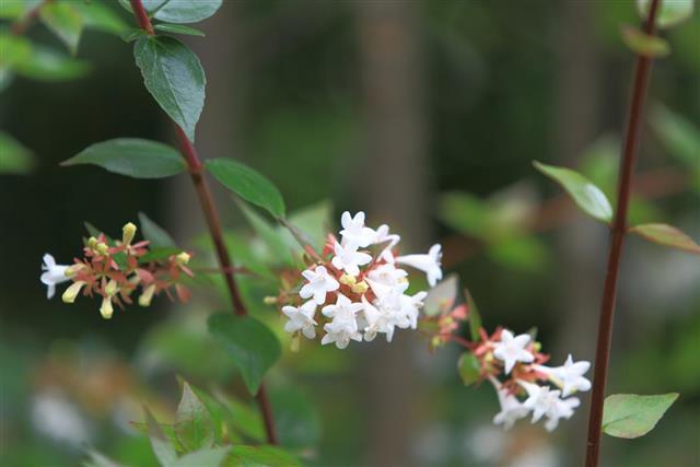 Abelia flowers