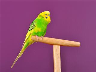 Cute budgerigar