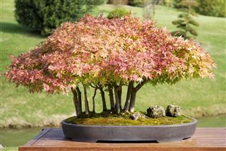 Bonsai of maple Acer palmatum