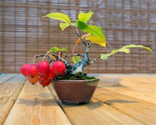 Bonsai Apple tree The age of 12