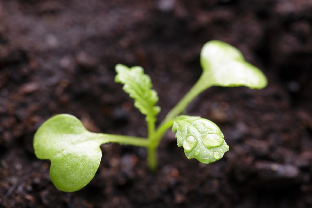 mustard plant