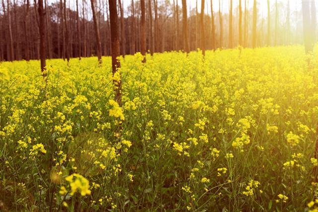 Fresh Mustard Field