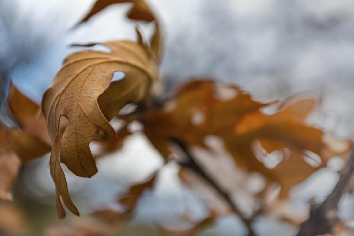 Oak tree leaves turning brown scrub oak leaf biocorpaavc