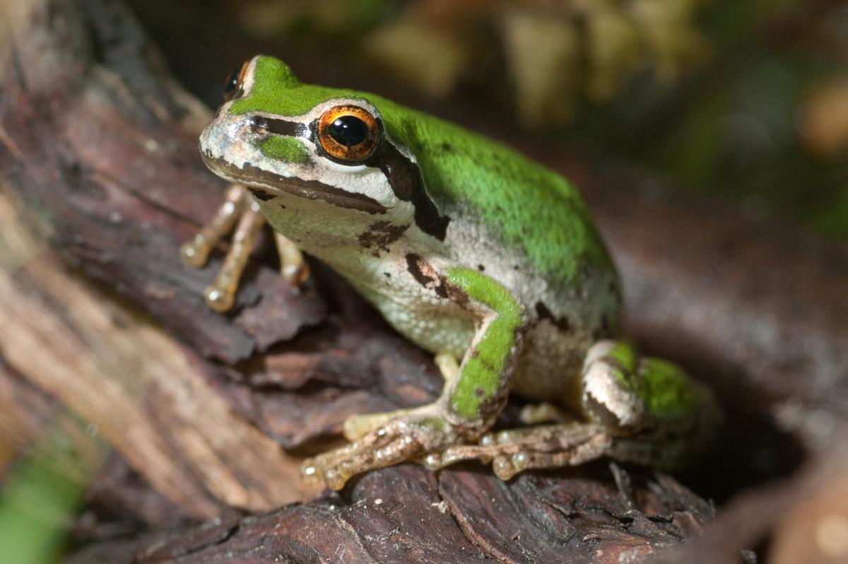 Pet frogs species - photo#55