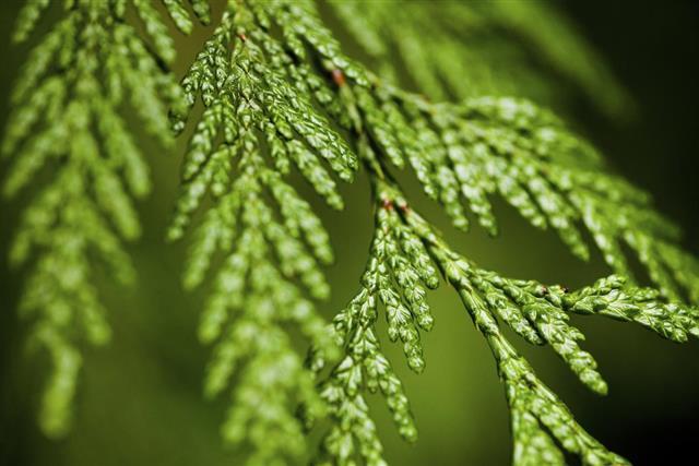 Cedar Tree, Leaf