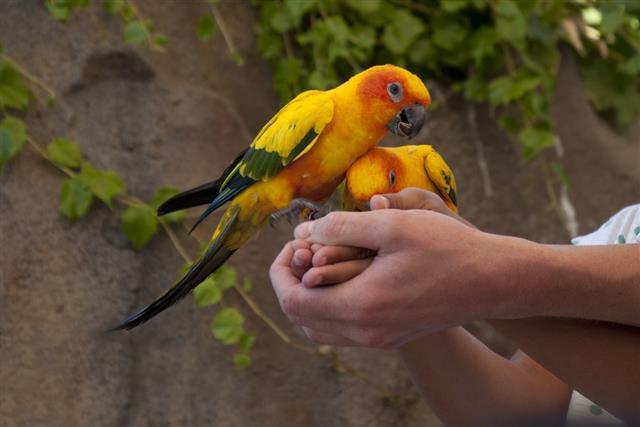 Sun parakeet (Aratinga solstitialis)