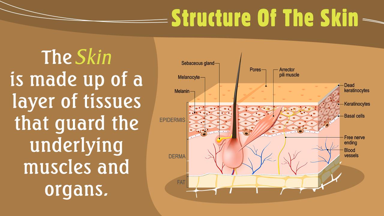 Integumentary System Organs