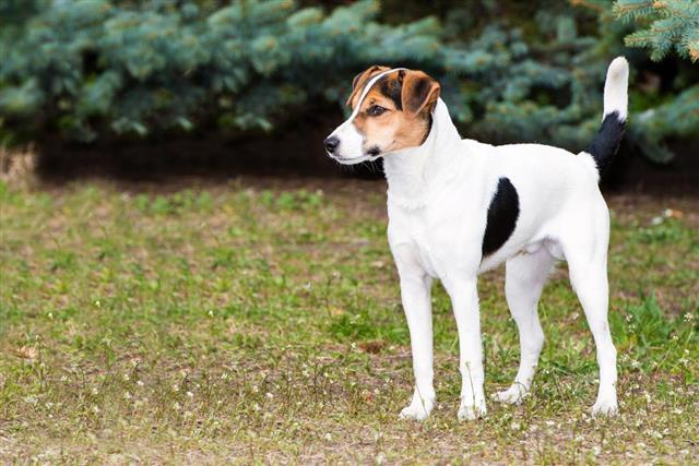 Long legged rat terrier