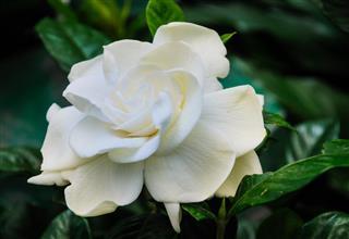 Fragrant White Gardenia