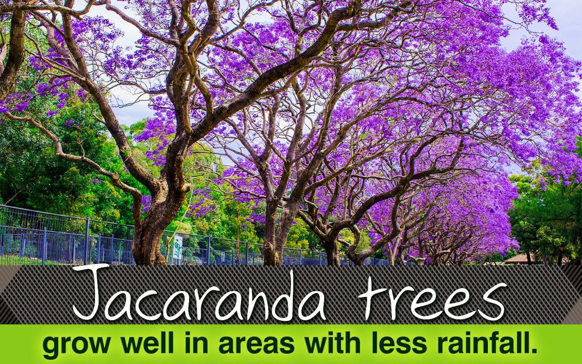 Jacaranda tree izmirmasajfo