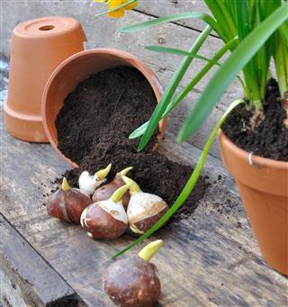 Planting plant bulbs