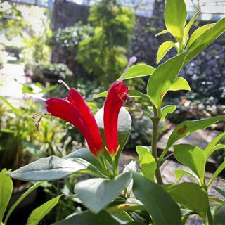 aeschynanthus or gesneriaceae flowers