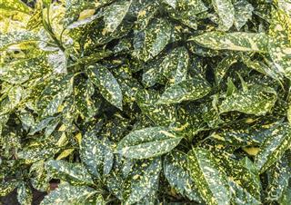 Aucuba Leaves